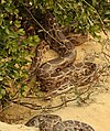 Indian Rock Python Python molurus by Dr. Raju Kasambe DSCN2687 (18).jpg