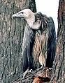 Indian Vulture1.jpg