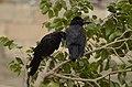 Indian jungle crow (Corvus culminatus) from Thiruppainjeeli JEG0205.jpg