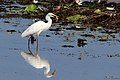 Intermediate Egret with catch (23240688134).jpg
