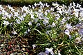 Ipheion uniflorum in Jardin des Plantes 01.jpg