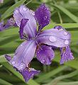 Iris Purple Top View 1788px.jpg