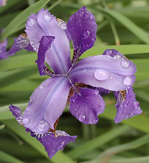 Iris sibirica - Close-up of flower with water droplets