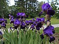 Iris flowers at Tennant Lake Park near Ferndale, WA. (27322086755).jpg
