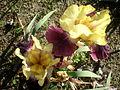 Iris germanica 1c.JPG