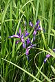 Iris graminea 7.jpg