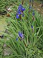 Iris sibirica 001.JPG