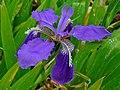 Iris tectorum 002.JPG