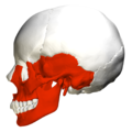 Irregular bones in skull - lateral view.png