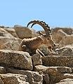 Israel-2013-Makhtesh Ramon 02 (Ibex).jpg