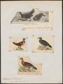 Ithaginis lunulatus - 1700-1880 - Print - Iconographia Zoologica - Special Collections University of Amsterdam - UBA01 IZ17100013.tif