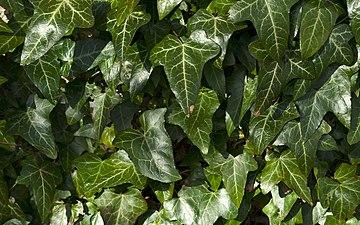 Ivy (3497098343).jpg