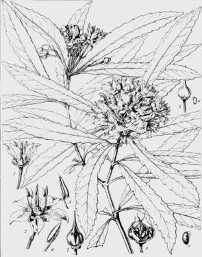Ixerba brexioides aus Hookers Icones Plantarum