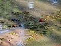 Jacanã (Jacana jacana) na região dos lagos em Bebedouro, formado com os represamentos do Córrego da Consulta. A ave também é conhecida por cafezinho ou menininho-do-banhado. Em cer - panoramio.jpg