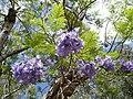 Jacaranda-mimosifolia-Mascarin.jpg