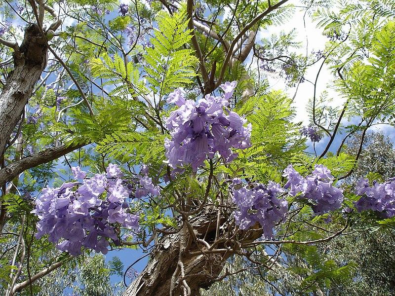 http://upload.wikimedia.org/wikipedia/commons/thumb/4/4b/Jacaranda-mimosifolia-Mascarin.jpg/800px-Jacaranda-mimosifolia-Mascarin.jpg