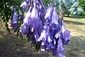 Jacaranda flowers - Flickr - gailhampshire.jpg