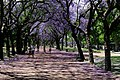 Jacarandaes en el Parque 3 de Febrero.jpg