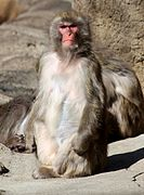 JapaneseMacaque1.jpg