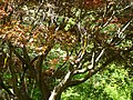 Japanese Maple 075.jpg