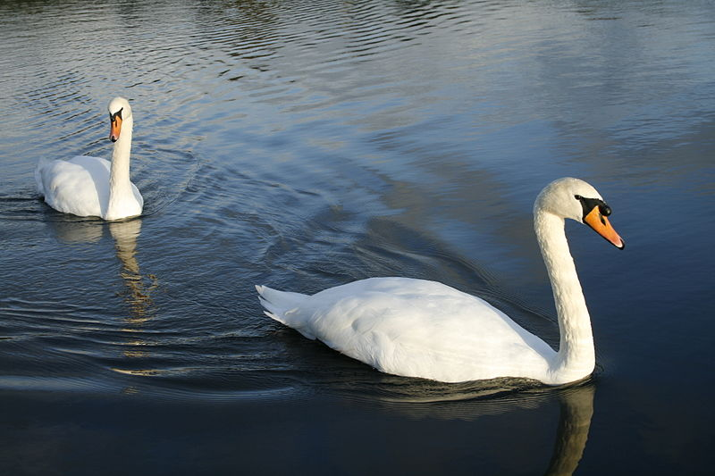 File:Jepoirrier - Swans on the Round Pond (by-sa).jpg