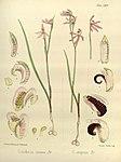Joseph Dalton Hooker - Flora Antarctica - vol. 3 pt. 2 plate 124 (1860).jpg
