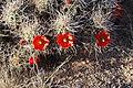 Joshua Tree National Park - Mojave Mound Cactus (Echinocereus triglochidiatus) - 02.JPG