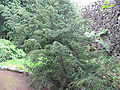 Juniperus brevifolia (Habitus).jpg