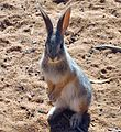 Juvenile Cottontail Rabbit.jpg
