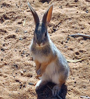 Cottontail rabbit - Image: Juvenile Cottontail Rabbit