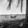 Karbouwen aan het ploegen, Bestanddeelnr 252-5591.jpg