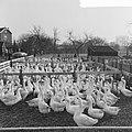 Kerstmis nadert, bij een pluimveehouder in Goor zijn de ganzen reeds bijeengebracht, Bestanddeelnr 917-2237.jpg