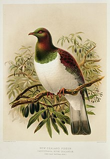 Illustration of New Zealand pigeon