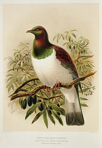New Zealand pigeon - A History of the Birds of New Zealand, Buller, 1888