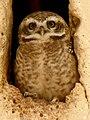 Khajuraho 33 - Indian owl (40723203261).jpg
