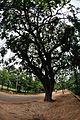 Kigelia africana - Santiniketan 2014-06-29 5401.JPG