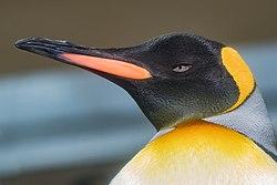 King penguin Aptenodytes patagonicus-4932.jpg