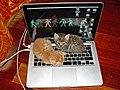 Kitten Laptop.jpg