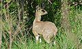 Klipspringer (Oreotragus oreotragus) male (6002382693).jpg