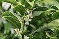 Kluse - Fortunella margarita - Kumquat 09 ies.jpg