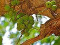 Knob Fig Tree (Ficus sansibarica) fruits (11498883455).jpg