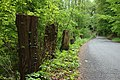 Kokořín, stromy u silnice.jpg