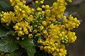 Korina 2015-04-17 Mahonia aquifolium 4.jpg