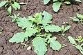 Korina 2016-05-26 Brassica nigra.jpg