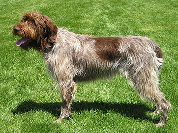 English: Wirehaired pointing griffon Ch. Stone...