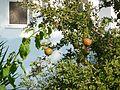 Kos Pomegranates.JPG