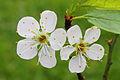 Krentenboompje (Amelanchier). Bloemen 06.JPG