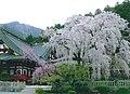 Kuonji-sakura.jpg