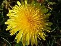 Löwenzahnblüte im Frühling0003.JPG