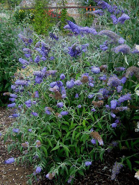 File:LS Buddleja 'Buzz Lavender', plant.jpg